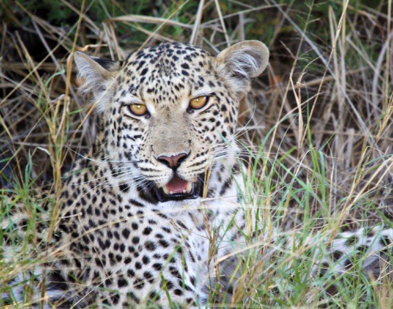 """Leopard, Africa"""