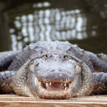 Captive American Alligator by JT