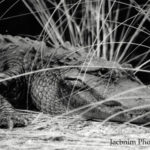 Wild American Alligator by JT