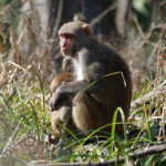 Rhesus Macaque by JT