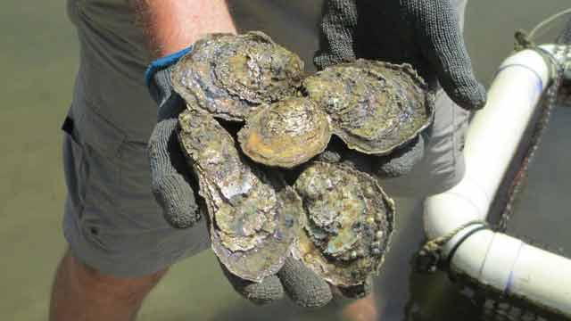 handful of oysters