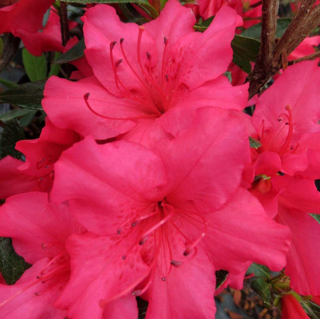 Azalea japonica /'Girards Rose/'