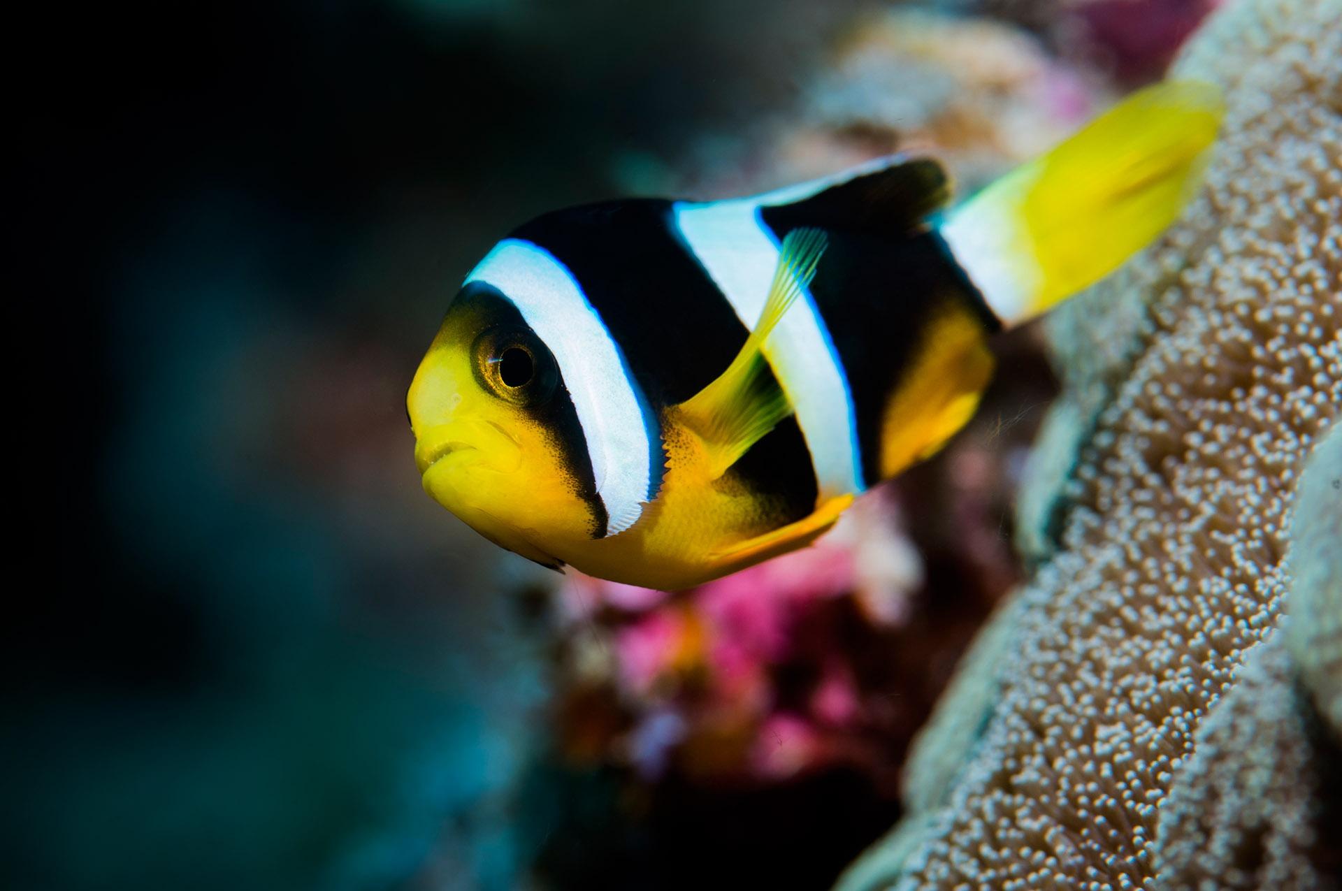 EQV-clown-fish