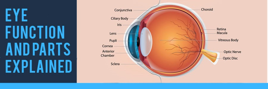 Eye Function and Parts Explained