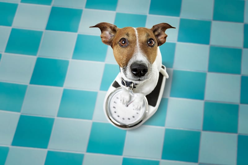 Pet Diabetes Primer