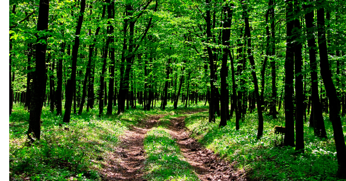 Image of a forest with a pathway running through the center representing ecological connectivity.