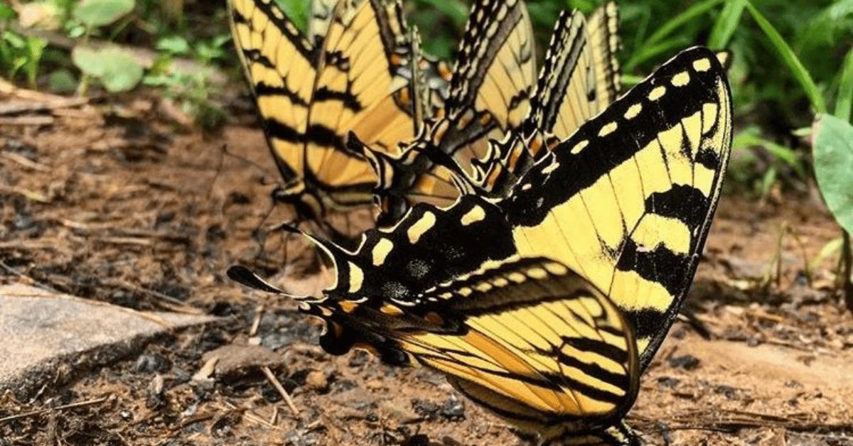 VIRGINIA butterflies