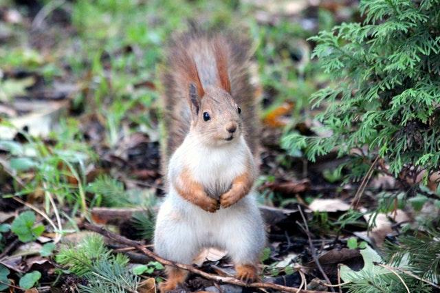 Flat Squirrels