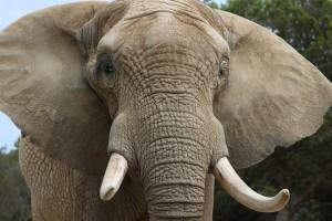 elephant-729899_1280