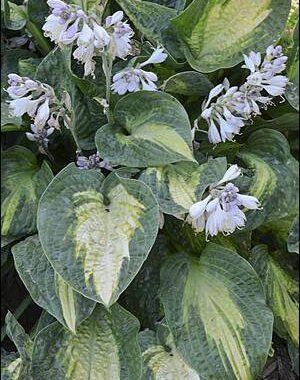 Alligator Alley Hosta