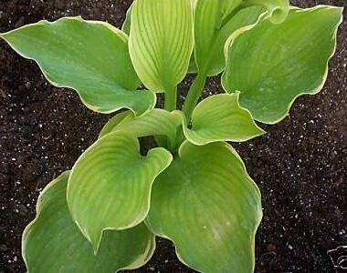 Amber Waves of Grain Hosta