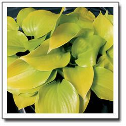 Appletini Hosta