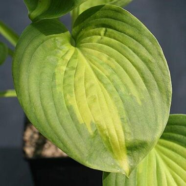 Avocado Hosta