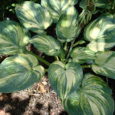 Bashful Polly Hosta