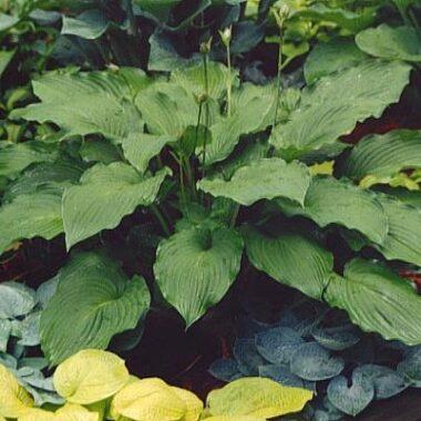 Bethel Big Leaf Hosta