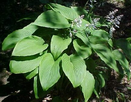 Big Dude Hosta