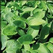 Big Top Hosta