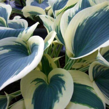 Blue Ivory Hosta