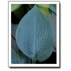 Blue Legend Hosta