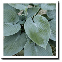 Blue Pointer Hosta
