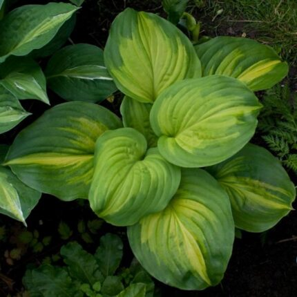Cathedral Windows Hosta
