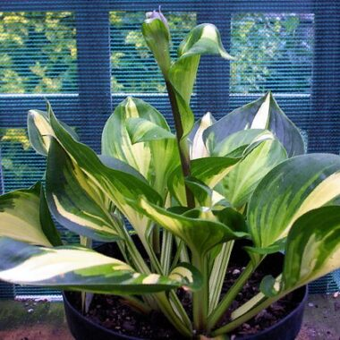 Center of Attention Hosta