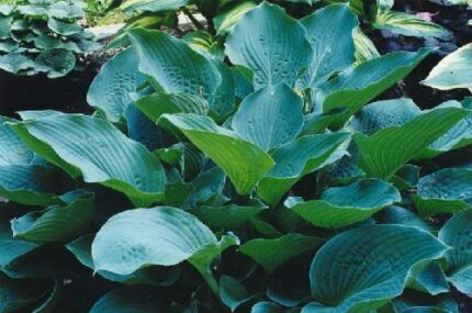 Chesapeake Bay Hosta