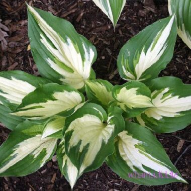 Christmas Candy Hosta