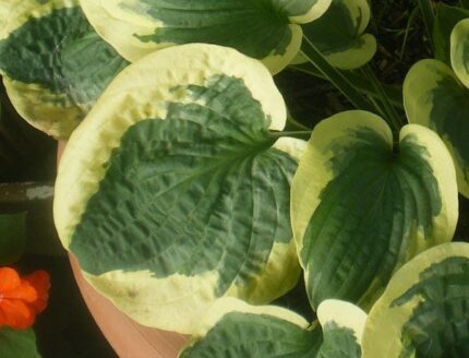 Christmas Pageant Hosta