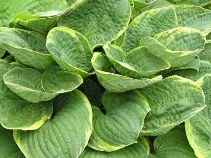 Christmas Tree Hosta