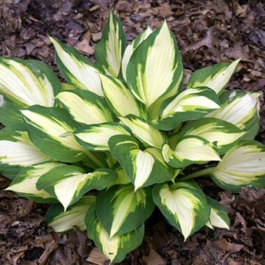 Color Festival Hosta