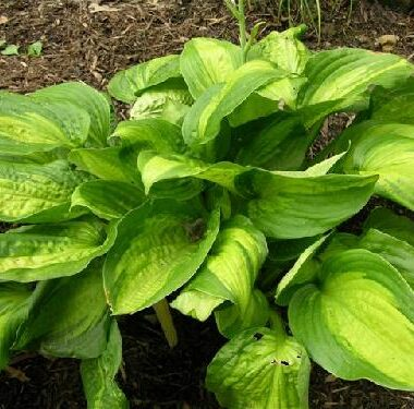 Corn Belt Hosta