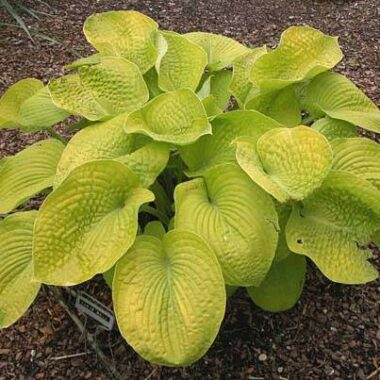 Curve Ball Hosta