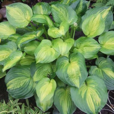 Dance With Me Hosta