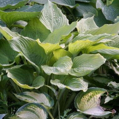 Dee's Golden Jewel Hosta
