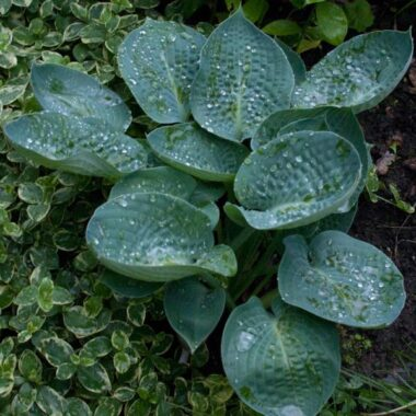Deep Blue Sea Hosta