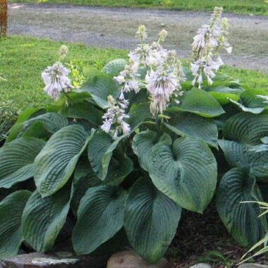Devon Giant Hosta