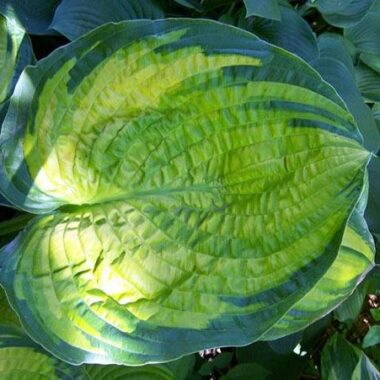 Dick Ward Hosta