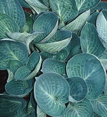 Dixie Cups Hosta