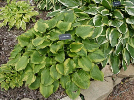 Erie Magic Hosta