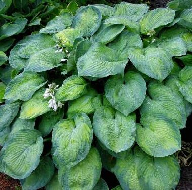 Foxfire Shadow Dancer Hosta
