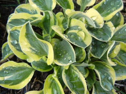 Frosted Mouse Ears Hosta