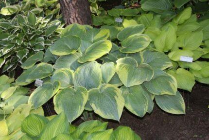Garden Treasure Hosta