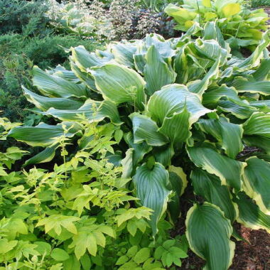 Ginsu Knife Hosta