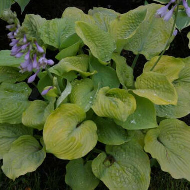 Golden Goal Hosta