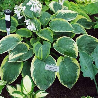 Great Arrival Hosta