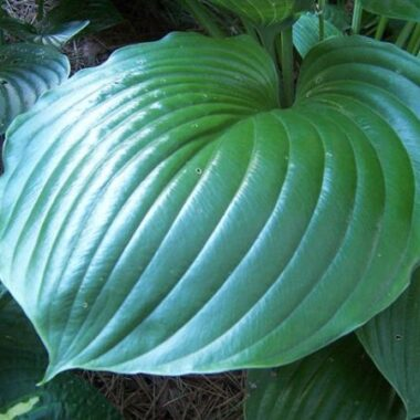 Green Sheen Hosta