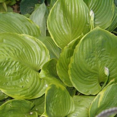 Gunthers Rim Hosta