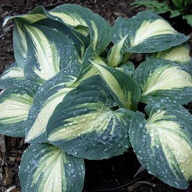 High Society Hosta