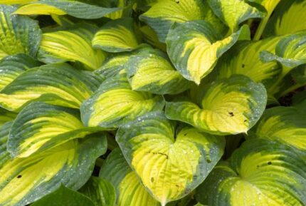Imperial Palace Hosta